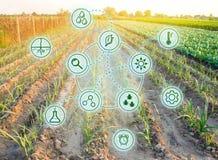 Purjolök i fältet Höga teknologier och innovationer i agro-bransch Investera i lantbruk Studiekvalitet av jord och skörden royaltyfri bild