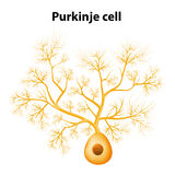 Purkinje cell eller Purkinje neuron Arkivbild