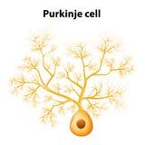 Purkinje komórka lub Purkinje neuron ilustracji