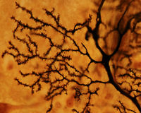 Purkinje neuron. Dendritic tree. Dendritic tree of a Purkinje neuron stained with the silver Golgi method. The dendrite surface is full of small dendritic spines stock image