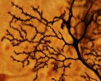 Purkinje neuron. Dendritic tree Stock Image