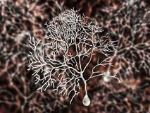 Purkinje neuron, GABAergic neuron som lokaliseras i lillhjärnan Arkivfoton
