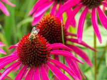 Purle Echinacea flowers and bee Stock Images