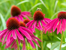 Purle Echinacea flowers Royalty Free Stock Photo