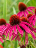 Purle Echinacea flowers Stock Images