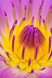 Purle yellow water lily for abstact background Stock Photography