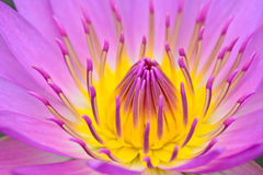 Purle yellow water lily for abstact background Royalty Free Stock Photo