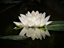 Purley White Water Lily Royalty Free Stock Photography