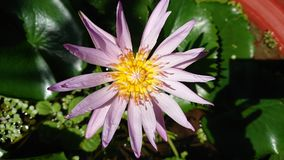 Purlpe f?r Lotus blomma royaltyfria bilder
