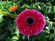 Purlpe gerbera flower. Purple gerbera closeup in flowerfield Royalty Free Stock Photos