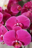 Purlpe orchid Stock Photo