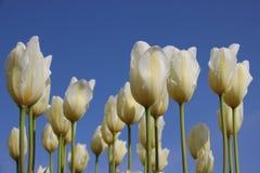puro Gocce della rugiada di mattina sui tulipani bianchi Corolla fotografia stock libera da diritti