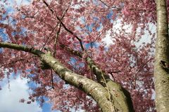 puro Rosa de florescência de florescência Sakura imagens de stock royalty free