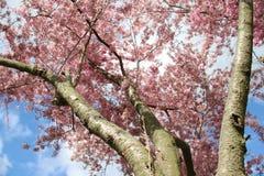 puro Rosa de florescência de florescência Sakura And Sunny fotos de stock royalty free
