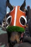 Puro-sangue Blinkered em raças. Imagens de Stock Royalty Free