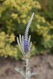 Purole и голубые цветки Стоковое Изображение RF