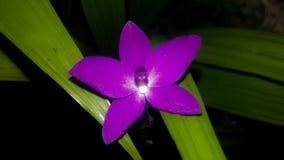 Purole-Blume Stockbild