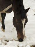 Purosangue che pasce nella neve Fotografia Stock