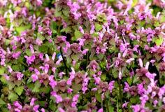 Purpúreo claro denso hermoso floreciente de la primavera de las flores ilustración del vector
