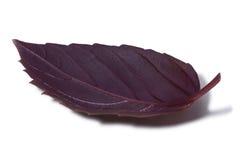 Purper Basilicumblad met weinig druppeltjes Stock Foto