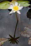 Purper beautyful water lilly in water Stock Foto
