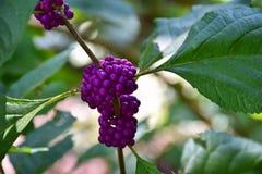Purper Berry Clusters Royalty-vrije Stock Afbeeldingen