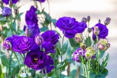 Purper, blauw nam in de tuin toe Royalty-vrije Stock Foto