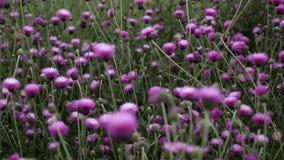 Purper bloemengebied bij de zomer stock footage