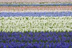Purper en Wit Hyacinth Field Horizontal Royalty-vrije Stock Afbeeldingen