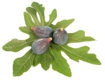 Purper fig. Royalty-vrije Stock Afbeeldingen