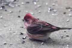 Purper Finch Feeding stock foto's