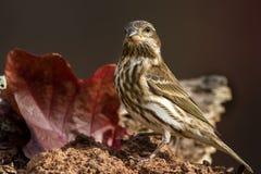 Purper Finch Female Royalty-vrije Stock Afbeeldingen