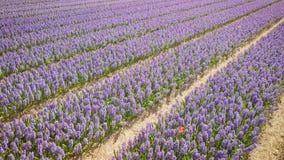 Purper hyacintgebied in netherlnds Hommelvlieg stock videobeelden