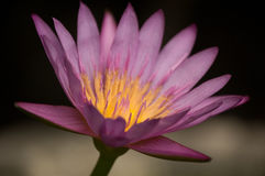 Purper Lotus. Stock Foto