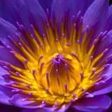 Purper Lotus Royalty-vrije Stock Foto's