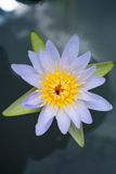 Purper lotus Stock Photos