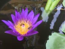 Purper Lotus met twee bijen stock foto's