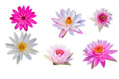 Purper Lotus op geïsoleerde witte achtergrond Met het knippen van weg Royalty-vrije Stock Fotografie