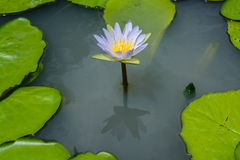 Purper lotus reflection Royalty Free Stock Photo