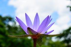 Purper lotus Stock Photography