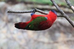 Purper-Naped lory Stock Afbeelding