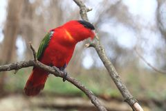 Purper-Naped lory Royalty-vrije Stock Afbeelding
