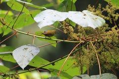 Purper-Naped sunbird Stock Afbeelding