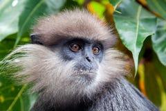 Purper-onder ogen gezien langur - aap Stock Foto