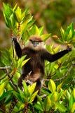 Purper-onder ogen gezien Langur, Trachypithecus-vetulus, aapzitting op de tak, de habitat van de aardboom, Sri Lanka Zeldzaam die Stock Foto's