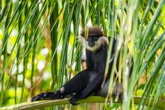 Purper-onder ogen gezien langur zitting op een palm Royalty-vrije Stock Foto's