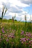 Purper onkruid met cattails die wildernis kweken Royalty-vrije Stock Foto's