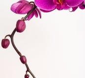 De achtergrond van de orchidee Royalty-vrije Stock Afbeeldingen
