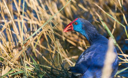Purper Portret Swamphen Royalty-vrije Stock Fotografie