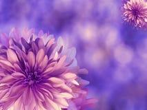 Purper-roze de herfstbloemen, op blauw-violette vage achtergrond close-up Heldere bloemensamenstelling, kaart voor de vakantie co Stock Foto's